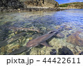 入り江に繁殖のために集まったネムリブカ 小笠原 44422611