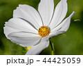 白いコスモス 44425059