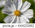 白いコスモス 44425062