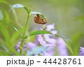 花 花虎の尾 角虎の尾の写真 44428761