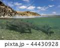 繁殖のために浅瀬に集まったネムリブカの群れ 44430928