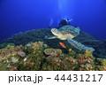 アオウミガメ ウミガメ ダイバーの写真 44431217