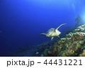 アオウミガメ ウミガメ スクーバダイビングの写真 44431221