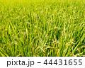 稲穂 稲 稲作の写真 44431655