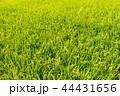 稲穂 稲 稲作の写真 44431656