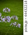 アガパンサス 花 紫色の写真 44432218