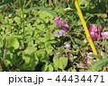 シジミチョウ 44434471