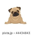 パグ 動物 わんこのイラスト 44434843