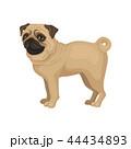 わんこ 犬 パグのイラスト 44434893