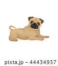 パグ 動物 わんこのイラスト 44434937