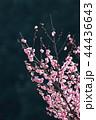 花 梅 紅梅の写真 44436643