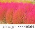 コキア ホウキグサ ホウキギの写真 44440364