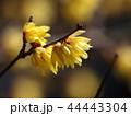 春の香りを放つ蝋梅 44443304