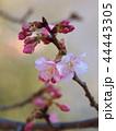 早春に咲く早咲き桜 44443305