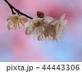 早春に咲く可憐な梅花 44443306