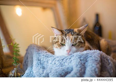 眠いミケ猫さんの変顔 44444395