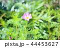 花 コスモス 植物の写真 44453627