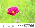 花 コスモス 植物の写真 44457766