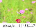 花 コスモス 植物の写真 44458117