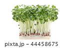 カイワレ大根 野菜 44458675