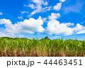 サトウキビ 石垣島 サトウキビ畑の写真 44463451