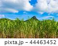 サトウキビ 石垣島 サトウキビ畑の写真 44463452