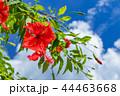 ハイビスカス 花 南国の写真 44463668