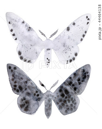 Peppered moth melanic and light form on white. 44464138