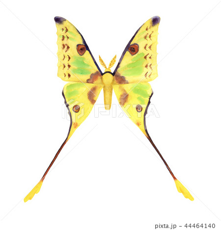 Comet moth watercolor illustration on white. Male 44464140