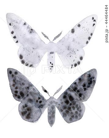 Peppered moth melanic and light form on white. 44464484