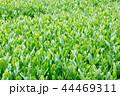 茶畑 新芽 畑の写真 44469311