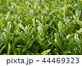 茶畑 新芽 畑の写真 44469323