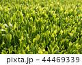 茶畑 新芽 畑の写真 44469339