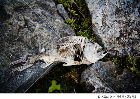 魚の死骸 44470543