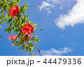 ハイビスカス 青空 花の写真 44479336