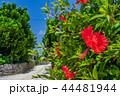 ハイビスカス 竹富島 晴れの写真 44481944