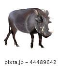 イボイノシシ 44489642