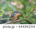 翡翠 カワセミ 小鳥の写真 44494204