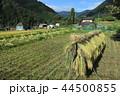 稲 米 水田の写真 44500855