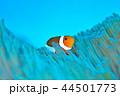 カクレクマノミ 44501773