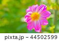 ダリア 花 植物の写真 44502599