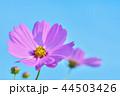 コスモス ピンク色 花の写真 44503426