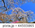 桜 花 樹木の写真 44503865