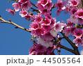 桜 さくら サクラの写真 44505564