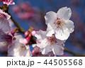 桜 さくら サクラの写真 44505568