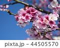 桜 さくら サクラの写真 44505570