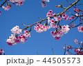 桜 さくら サクラの写真 44505573