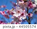 桜 さくら サクラの写真 44505574