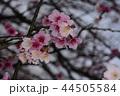 桜 さくら サクラの写真 44505584