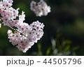 桜 さくら サクラの写真 44505796